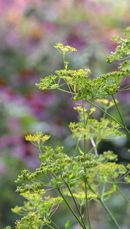 How to use fennel to increase milk supply and is it safe?