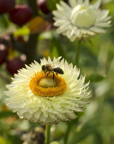 Helichrysum essential oil is a natural remedy for an infant's cough and many more indications for labor and postpartum.