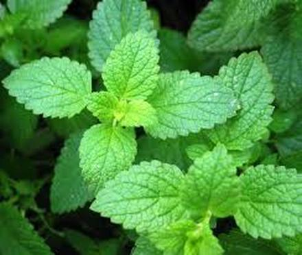 Does peppermint essential oil decrease breast milk production?